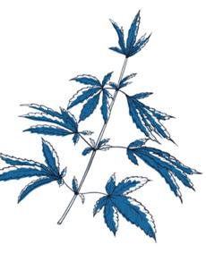 Planta Cânhamo