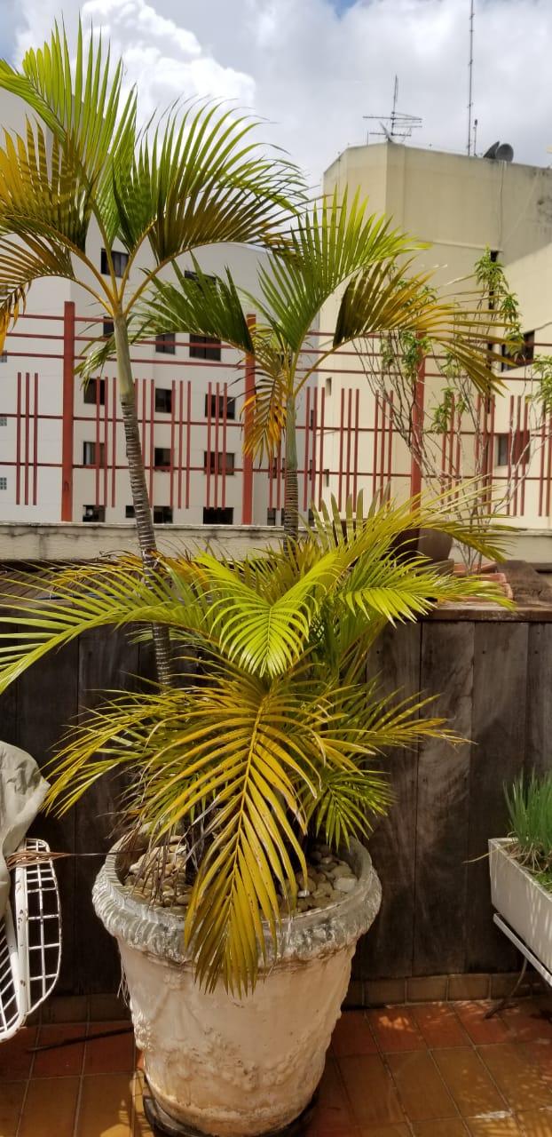 Regar as plantas - Palmeiras