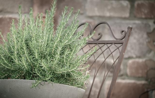 Planta Alecrim